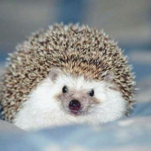 Beautiful Hedgehogs